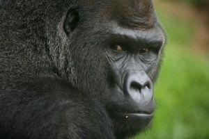 Gorilla-gorilla