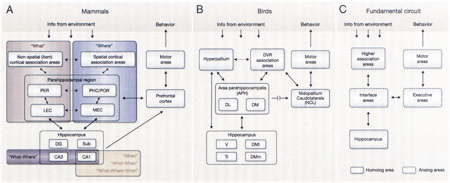 """FIGURA 2. Circuitos neuronales que subyacen la capacidad de memoria episódica en los mamíferos y en especies aviares. (A) Diagrama esquemático del mecanismo neuronal que apoya la codificación de la memoria episódica y la expresión en los mamíferos. Después de que la información del ambiente alcanza la neocorteza, el procesamiento de la información sobre el """"qué"""" y el """"dónde"""" se divide en flujos paralelos de las áreas corticales de asociación. Esta separación funcional se mantiene en la región parahipocampal donde posteriormente se procesa la información antes de que alcance el hipocampo. Las memorias episódicas se forman cuando el hipocampo integra información sobre un evento especifico (qué sucedió) con el contexto en el que ocurrió (p.e., dónde y/o cuándo sucedió). Aunque la codificación """"qué-dónde"""" se ha mostrado en las regiones CA3 y CAI, los estudios de lesiones sugieren que este tipo de integración depende particularmente de la región CA3. La evidencia reciente sugiere que la región CAI ofrece una representación interna del tiempo transcurrido (""""dónde""""), que podría apoyar la formación de las asociaciones """"qué-dónde"""" y """"qué-dónde-cuándo"""". Se cree que los recuerdos episódicos ocurren cuando las representaciones del evento-en-contexto integrado se reactivan en la red hipocampal, la cual lleva a la reactivación de las representaciones asociadas en la región parahipocampal y en las áreas neocorticales de asociación. El proceso por el cual los recuerdos recuperados pueden guiar el comportamiento depende de la corteza prefrontal. (B) Circuito comparable en el cerebro aviar. (C) Circuito fundamental hipotético para apoyar la memoria episódica a través de las especies. Evidencia anatómica, de comportamiento y fisiológica demuestra que este sistema incluye estructuras homologas y análogas. GD, giro dentado; DL, región dorsolateral; DM, región dorsomedial (lateral y medial); CVD, cresta ventricular dorsal; CEL, corteza entorrinal lateral; CEM, corteza entorrinal medial; """