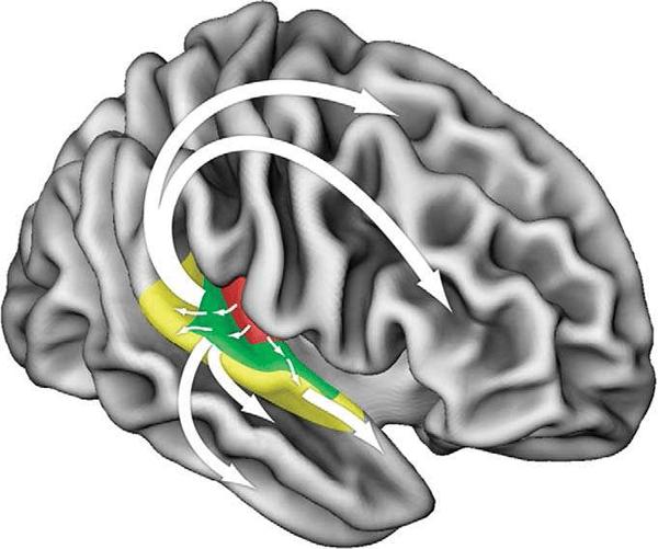 FIGURA 2. Esquema de las trayectorias funcionales putativas para el procesamiento de la información auditiva en el cerebro humano. Las trayectorias originadas en el centro de las áreas auditivas se proyectan hacia fuera en paralelo pero de manera jerárquica hacia la cortezas cinturón y pericinturón (áreas en color). Por consiguiente, se pueden identificar varias corrientes funcionales bidireccionales distintas: Ventralmente, las corrientes de procesamiento progresan hacia los objetivos en el surco temporal superior y el surco temporal inferior y en el giro, terminan eventualmente en las cortezas frontales inferiores. Dorsalmente, las proyecciones se dirigen hacia distintos objetivos en las cortezas frontales inferior, premotora y dorsolateral. Adaptado de Mithen 2005.