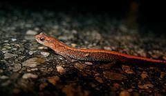 Plethodon cinereus - Salamandra roja