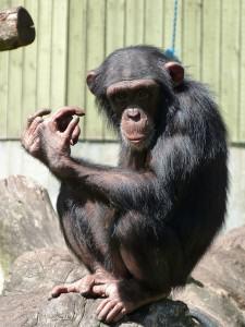 chimpanzee-314270_640