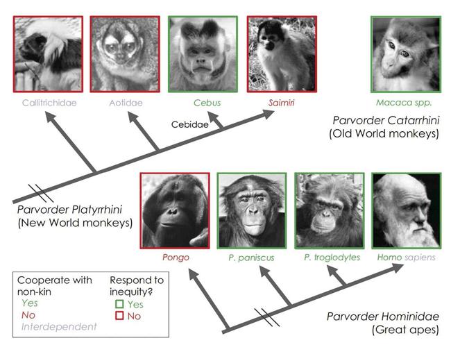 FIGURA 3. Diagrama esquemático que indica las respuesta a la inequidad de las especies que han sido evaluadas con la utilización del típico procedimiento de inequidad en el cual los sujetos intercambian fichas a cambio de recompensas mientras están sentados junto a un compañero. Las fotografías que representan a las especies que muestran una respuesta negativa ante la inequidad en esta tarea están delineadas en verde, y aquellas que no están delineadas en rojo. Los nombres de las especies que muestran una extensa cooperación social, tales como coaliciones y alianzas, están en verde, aquellas que no lo muestran están en rojo y las especies interdependientes (p.e., con cuidado biparental) están en violeta. Los humanos muestran ambos una extensa cooperación social y cuidado biparental. Nótese que este diagrama excluye a los gorilas, de los cuales se conoce muy poca información. Las fotografías del macaco y del bonobo son de F. B. M. de Waal. La fotografía del orangután es de C. Talbot. La fotografía de Darwin es del dominio público. El resto de fotografías son de la autora.